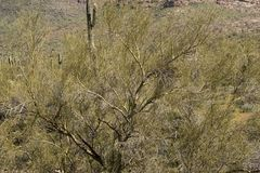 Palo Verde trees along the Cougar Trail, Superstition Mountains, Arizona stock image