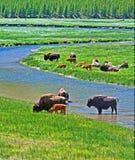Żubr Bawolie krowy krzyżuje rzekę z dziecko łydką w Yellowstone parku narodowym w Wyoming usa Zdjęcia Royalty Free