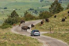 Żubr blokuje samochód ścieżkę zdjęcia royalty free