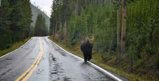 Żubr droga Zdjęcie Stock