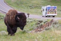 żubr dziki Yellowstone Fotografia Stock