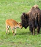 Żubr i Nowonarodzona łydka - Yellowstone park narodowy zdjęcie royalty free