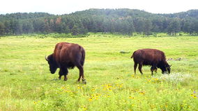 Żubr przy Custer stanu parkiem zdjęcie wideo