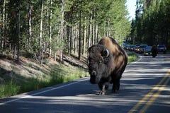 Żubr przy Yellowstone parkiem obraz stock