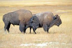 Żubr przy Yellowstone parkiem narodowym, Wyoming obraz stock
