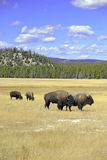 Żubr przy Yellowstone parkiem narodowym, Wyoming obrazy royalty free