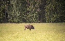 Żubr w łące lasem, Lithuania zdjęcie stock