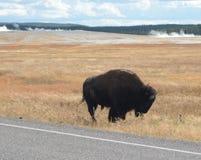 Żubr w łące w Yellowstone NP zdjęcie royalty free