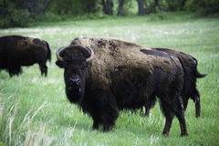 Żubr w Custer zdjęcie royalty free