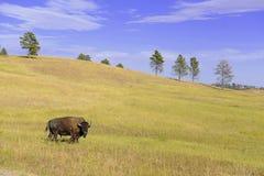 Żubr w obszarach trawiastych, Wiatrowy jama park narodowy, Południowy Dakota zdjęcie stock