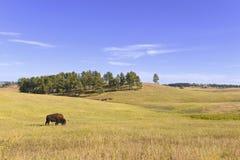 Żubr w obszarach trawiastych, Wiatrowy jama park narodowy, Południowy Dakota Fotografia Stock