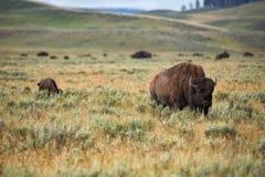 Żubr w obszarach trawiastych Yellowstone park narodowy w Wyoming Obraz Stock