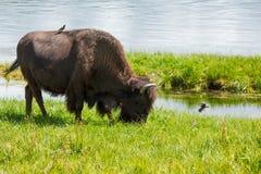Żubr w obszarach trawiastych Yellowstone park narodowy w Wyoming Fotografia Stock