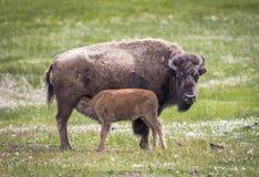 Żubr w obszarach trawiastych Yellowstone park narodowy w Wyoming w t Zdjęcie Royalty Free