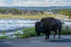 Żubr w tło gejzerze w Yellowstone parku narodowym, Wyoming usa obraz stock