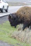 Żubr w Yellowstone parku narodowym drogą obrazy royalty free