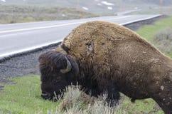 Żubr w Yellowstone parku narodowym drogą fotografia stock