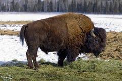Żubr, Whitehorse, Yukon terytorium, Kanada fotografia stock