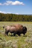 żubr Yellowstone obrazy royalty free