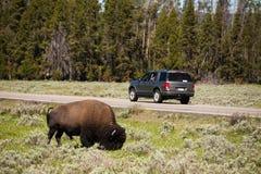 żubr Yellowstone obraz royalty free