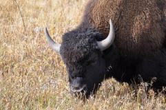 Żubr - Yellowstone park narodowy, Wyoming Obrazy Royalty Free
