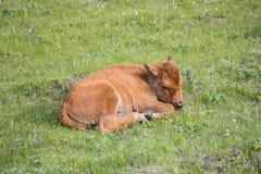 Żubra łydkowy przysypiać w wiosny świetle słonecznym Obraz Stock