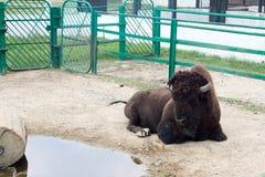 Żubra żubr przy zoo, obraz stock