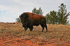 Żubra Bawoli byk w Wiatrowym jama parku narodowym Obrazy Royalty Free