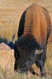 Żubra Bawoli byk w Wiatrowym jama parku narodowym Zdjęcia Stock