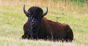 Żubra Bawoli odpoczywać w Wiatrowym jama parku narodowym Zdjęcie Stock