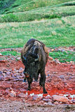 Żubra bizon przy Wiatrowym jama parka narodowego wodopojem i Kopalnym liźnięciem Zdjęcie Stock