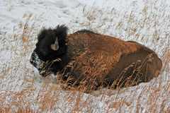 Żubra bizon w Yellowstone parku narodowym podczas zimy Fotografia Stock