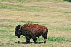 Żubra bizon z ptakami w Wiatrowym jama parku narodowym Obraz Stock