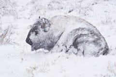 żubra burzy zima Zdjęcia Royalty Free