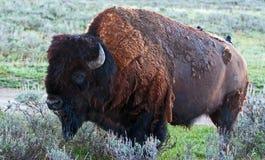 Żubra byka Yellowstone Bawoli park narodowy z ptakiem na jego z powrotem (Wyoming usa) Zdjęcie Royalty Free
