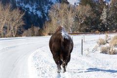 Żubra odprowadzenie wzdłuż śnieg zakrywającego pobocza Zdjęcia Stock