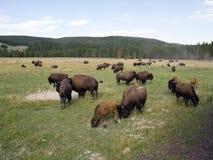 żubra park narodowy Yellowstone Zdjęcie Stock