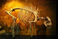 żubra szkielet Zdjęcie Royalty Free