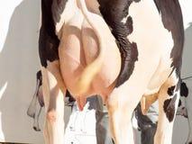 Ubre de la vaca outdoor Fotos de archivo libres de regalías