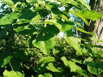 Ubriacone, foglie verdi di estate Fotografie Stock Libere da Diritti