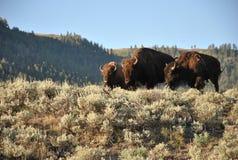 Żubry, Yellowstone park narodowy, Wyoming Obrazy Stock