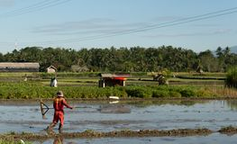 Ubud, Бали, Индонезия 7-ое мая 2019: Человек Unitedtified работает на поле риса в Ubud, Бали, Индонезии стоковое фото rf