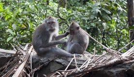 ubud обезьяны Стоковая Фотография