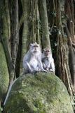 ubud обезьяны macaque пущи bali Стоковое Изображение