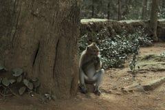 Ubud猴子森林是自然保护和印度寺庙复合体在Ubud,巴厘岛,印度尼西亚 库存照片