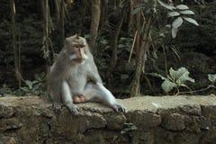 Ubud猴子森林是自然保护和印度寺庙复合体在Ubud,巴厘岛,印度尼西亚 免版税库存图片