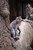 猕猴属fascicularis在Ubud胡闹森林,巴厘岛,印度尼西亚 免版税库存图片