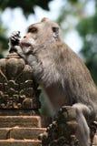 猴子哲学家在Ubud猴子森林,巴厘岛,印度尼西亚里 免版税图库摄影