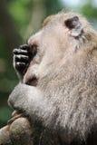 疲乏的猴子在Ubud猴子森林,巴厘岛,印度尼西亚里 免版税库存照片