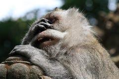 疲乏的猴子在Ubud猴子森林,巴厘岛,印度尼西亚里 免版税图库摄影